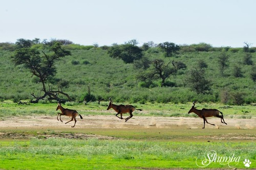 Another Kgalagadi trip
