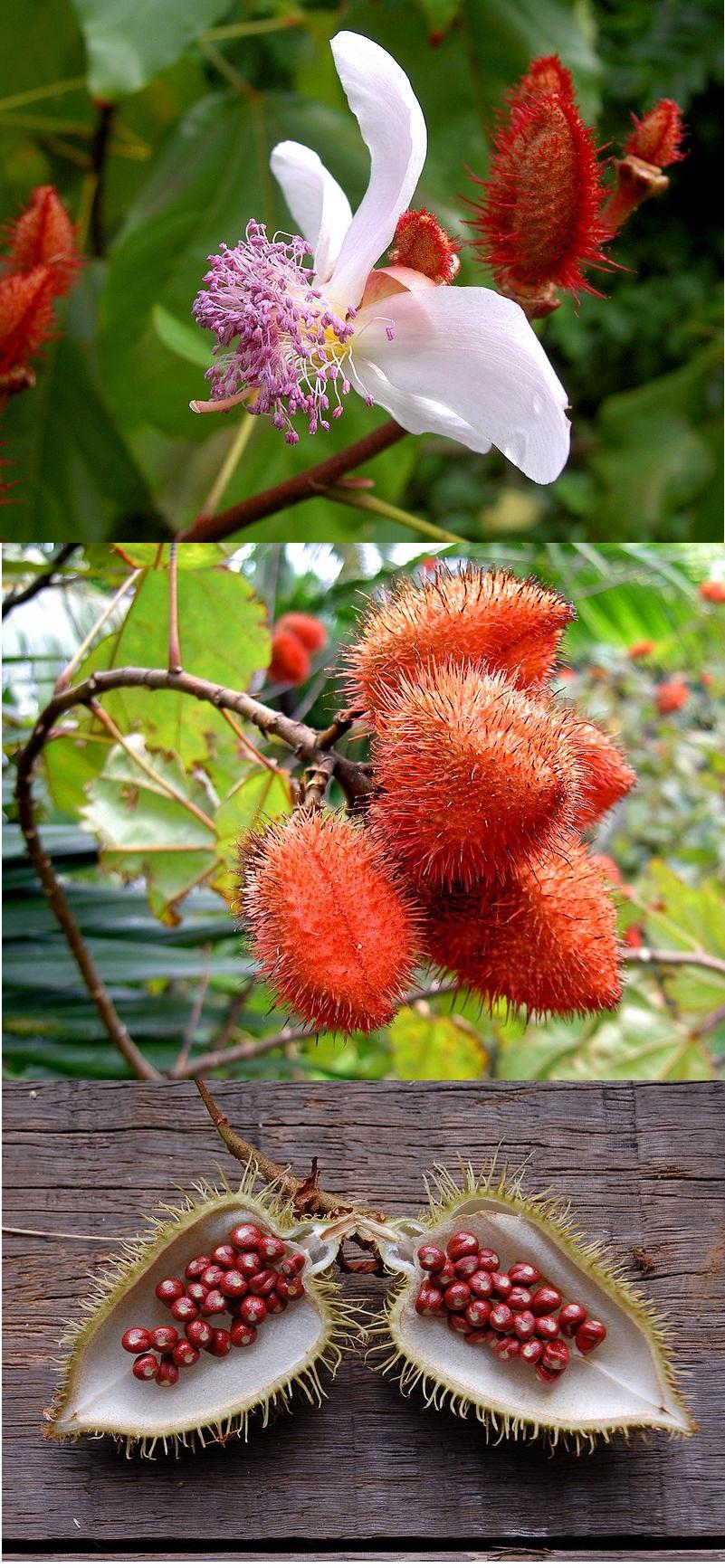 Roucou Bixia_orellana trio fleur-fruits-graines