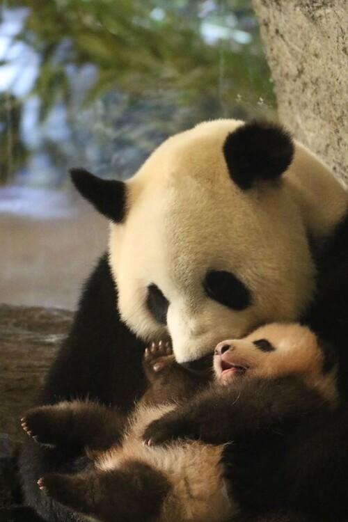 Adorable Panda et son petit