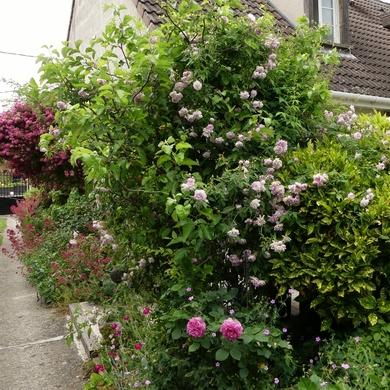 Des Journées de la Rose aux journées de mes roses : de Maria-Lisa à Isabelle du Portugal...