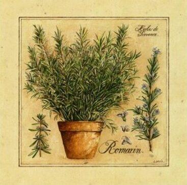 Romarin, cette herbe qui fait du bien à la mémoire
