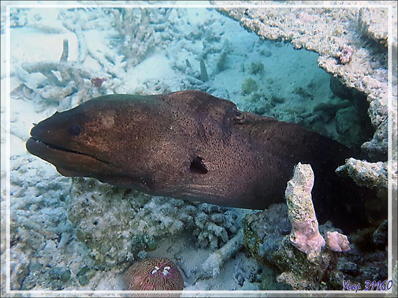 Murène de java, Murène géante, Giant moray (Gymnothorax javanicus) - Snorkeling à Moofushi - Atoll d'Ari - Maldives