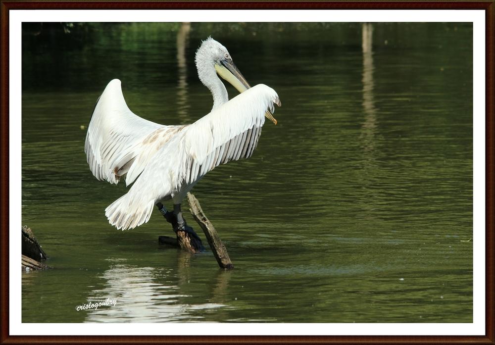 Pelican gris...