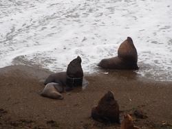 Le lion de mer à gauche a surement eu affaire à un filet de pêche