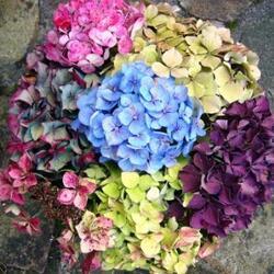 bouquet d'hydrangeas