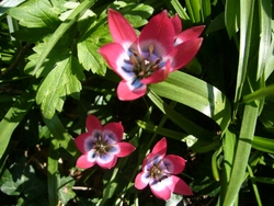 Les tulipes...sauvages