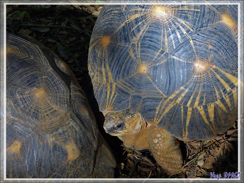 Promenade dans la forêt de Nosy Sakatia : Tortue étoilée ou rayonnée de Madagascar (Astrochelys radiata) - Madagascar