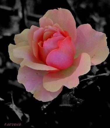Miel rosat
