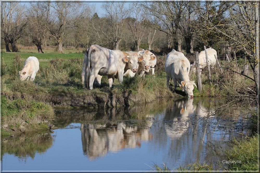 Délires vaches