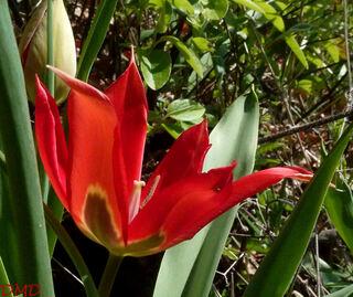 Tulipa agenensis - tulipe d'Agen - tulipe oeil de soleil