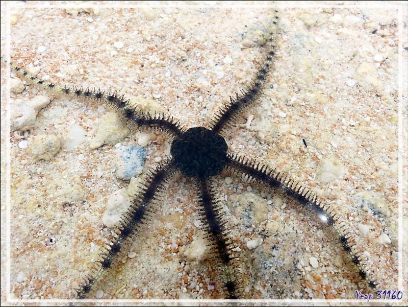 Ophiures diverses - Motu au sable rose - Sud de Fakarava (Tetamanu) - Tuamotu - Polynésie française