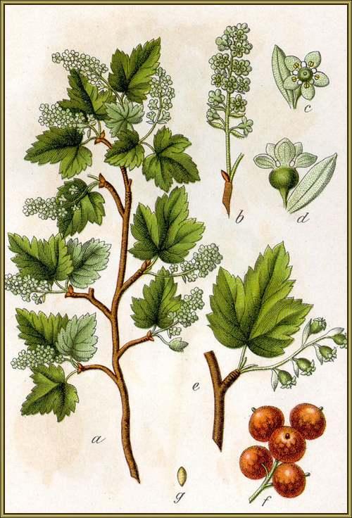 Vertus médicinales des plantes sauvages : Groseillier à maquereau