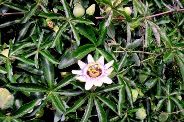 E1 - La fleur de la passion