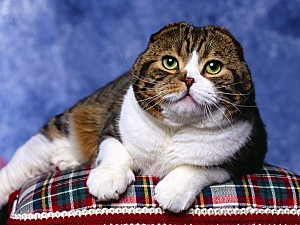 Scottish-Fold-copie-1
