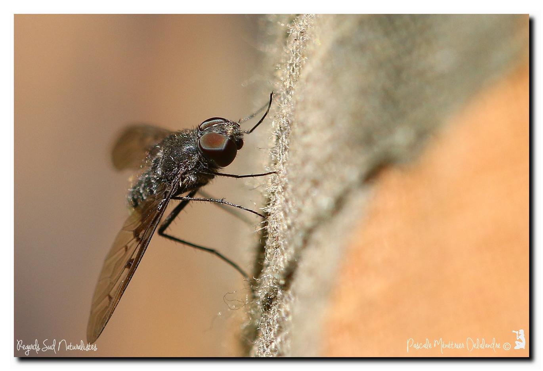 Anthrax trifasciatus (Bombyliidae)