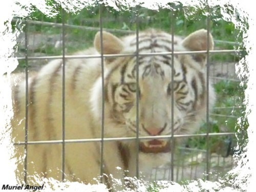 tigre-blanc-copiry-1-Ma.JPG
