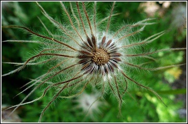 fleur-a-souffler.jpg