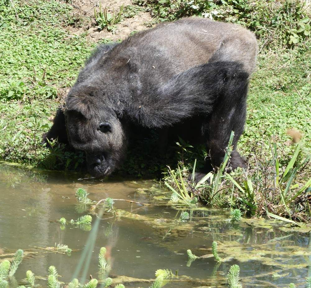 Les gorilles de la Vallée des Singes à Romagne : Dos Argenté...