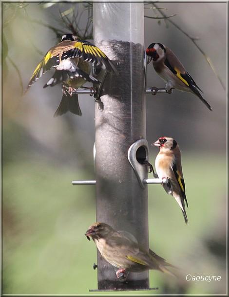 Comportements des oiseaux aux mangeoires