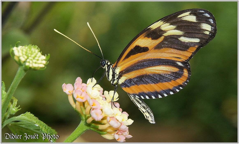 Oeil du Tigre / Heliconius ismenius