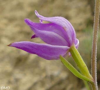 Cephalanthera rubra - céphalanthère rouge