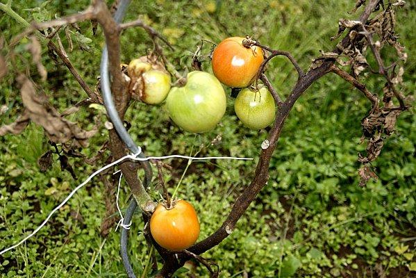 tomates-008.JPG