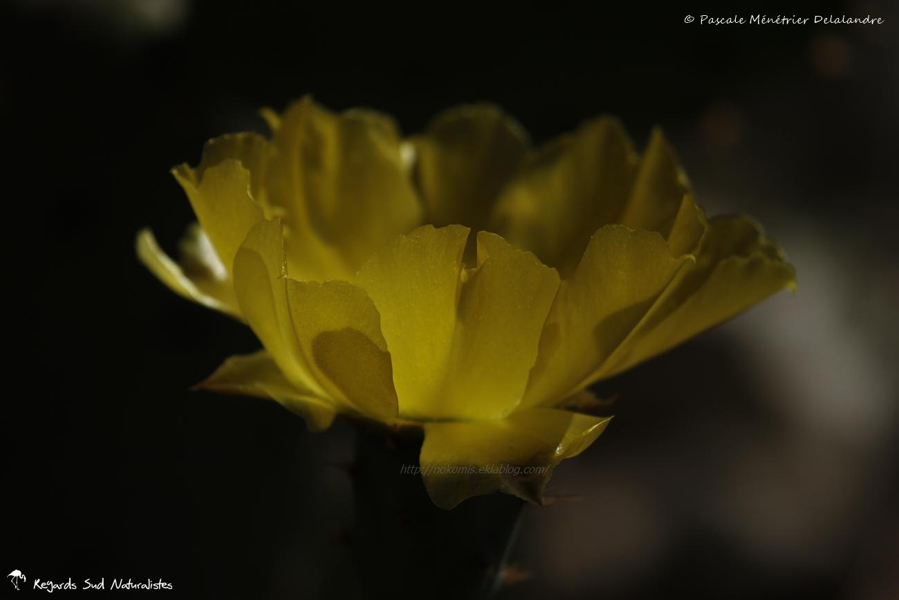 Oponce de l'est - Opuntia humifusa