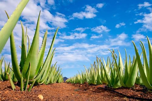 Aloe Vera – Que faut-il savoir sur cette plante miraculeuse, son âge médicinal remonte à plus de 4000 ans.