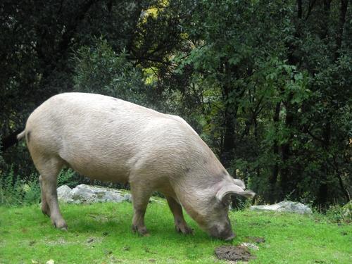 Cochon sauvage en corse