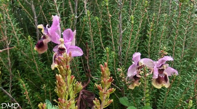 Ophrys tenthredinifera  -  ophrys guêpe