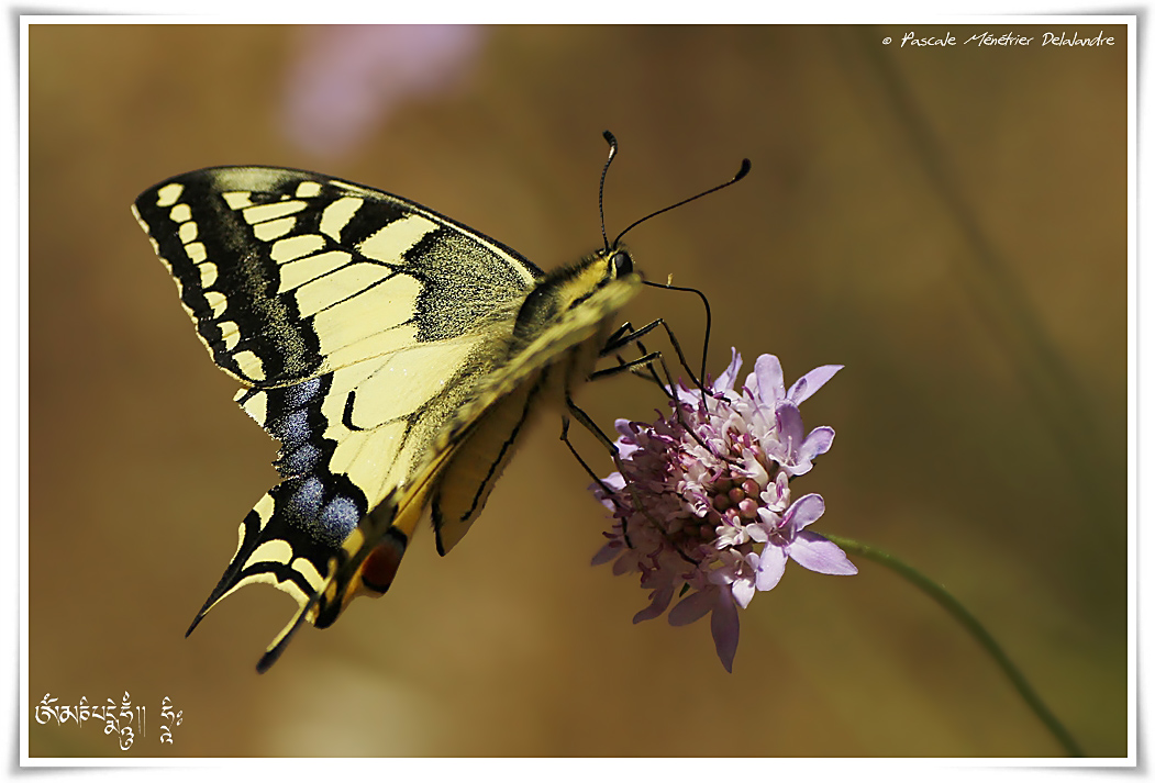 Machaon ou Grand porte-queue (Papilio machaon) - Papilionidae