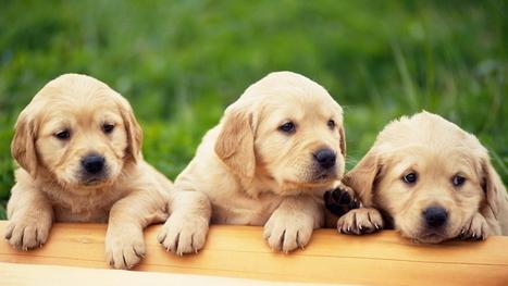 trois Golden Retriever bébés