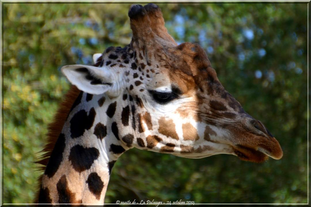 Girafe -  Zoo de la Palmyre - Charente-Maritime (2)