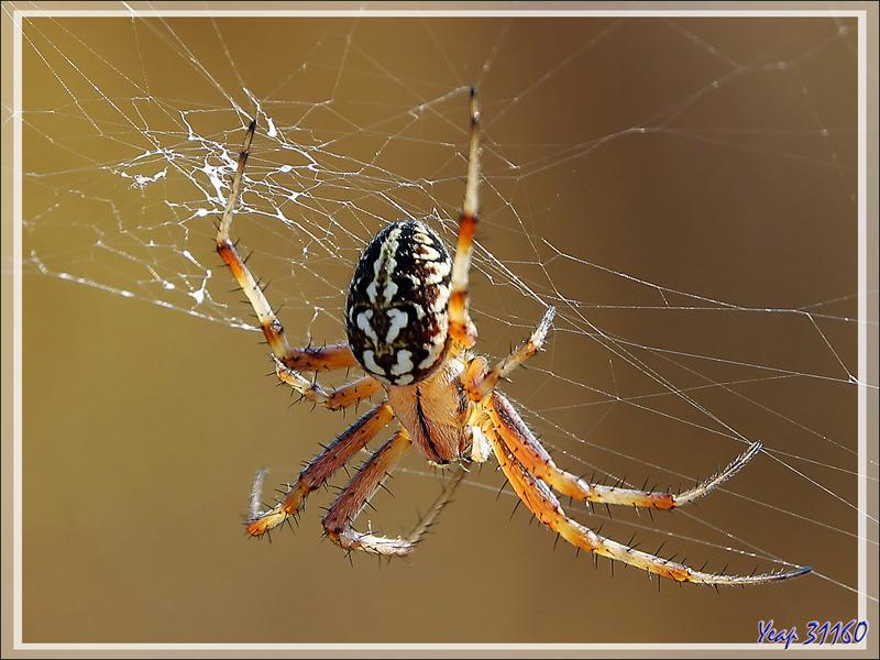 """Araignée """"Épeire byzantine"""", nom personnel car cette araignée n'a pas de nom vernaculaire (Neoscona byzanthina) - Les Portes-en-Ré - 17"""