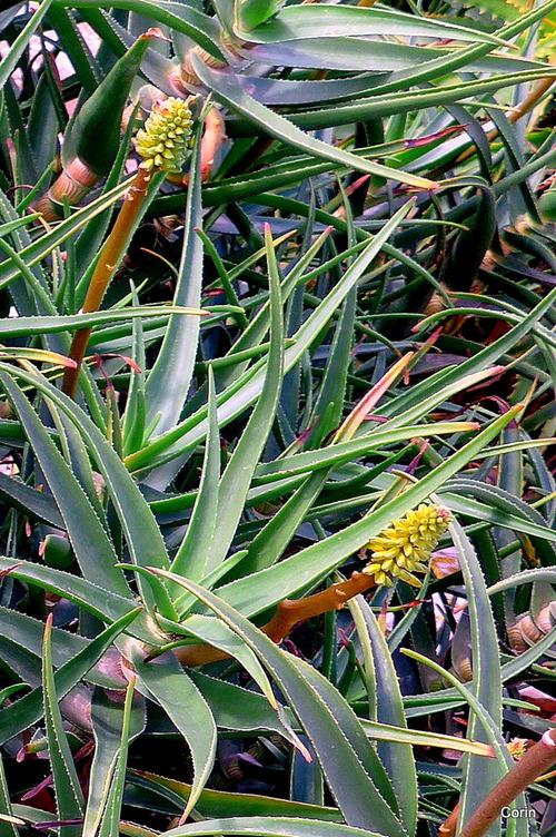 Une jolie plante aux fleurs jaunes