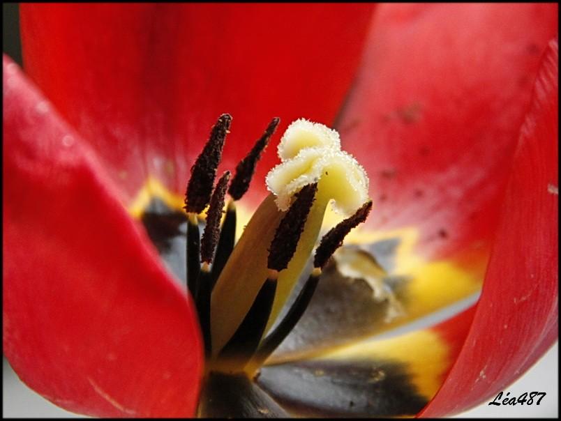 _MG_4525-coeur-tulipe.jpg