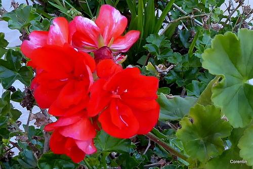 Fleurs du géranium