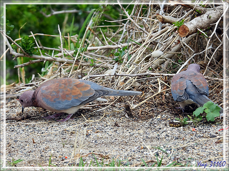 Tourterelle maillée, Laughing Dove (Spilopelia senegalensis) - Camps Bay - Cape Town - Afrique du Sud