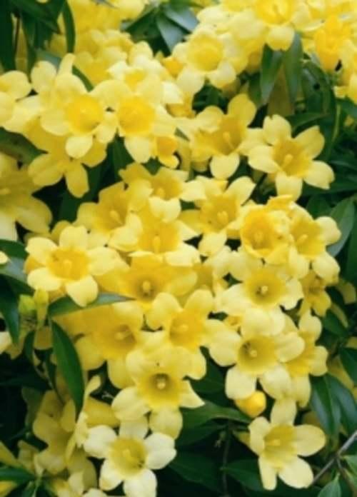 Fleurs cultivées : Gelsemium