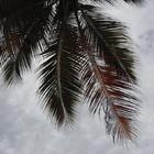 Une palme sur ciel gris  - Photo : Elise