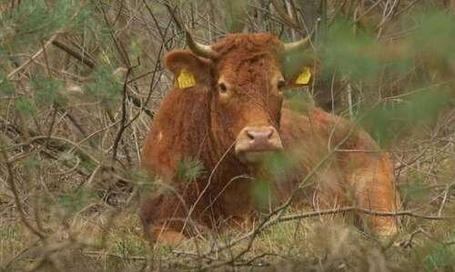 Hermien, la vache qui refuse d'aller à l'abattoir