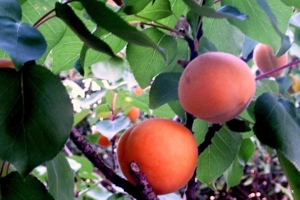 w01 - 2 abricots