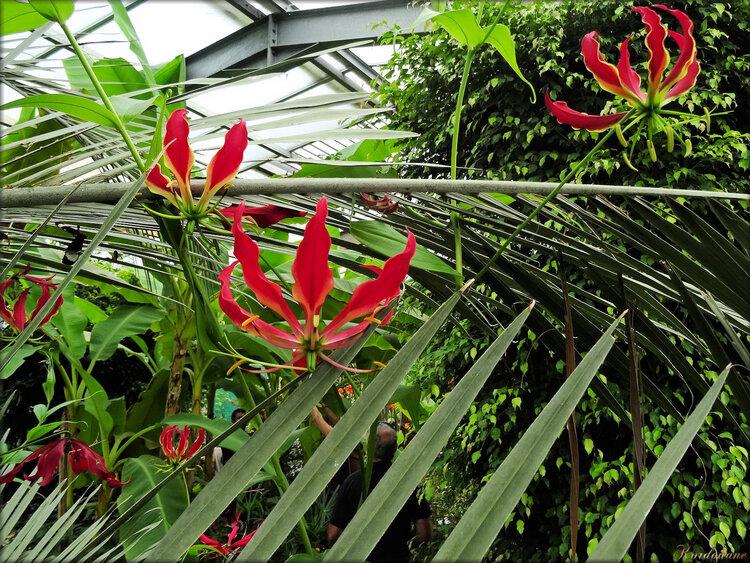 Photo de Gloriosa (Ile aux papillons-Noirmoutier)