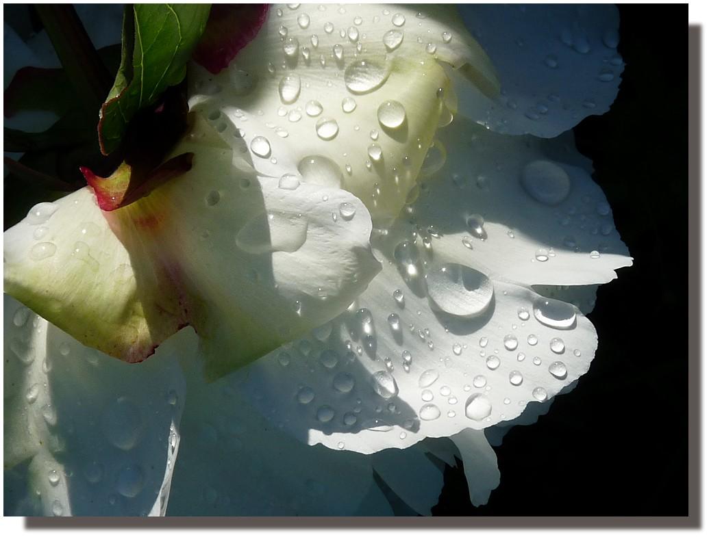 pivoine à la rose 3