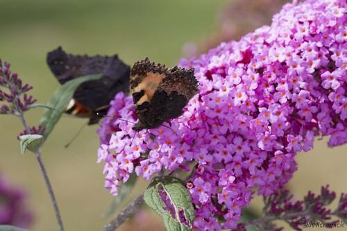 Papillon Paon-du-jour  (Aglais io)