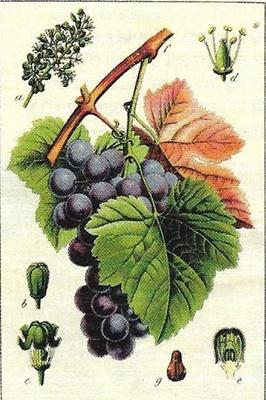 Le bon raisin