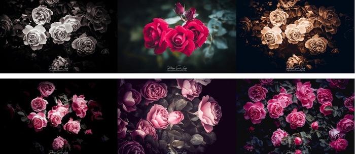 Découvrir la rose, c'est aussi découvrir un secret