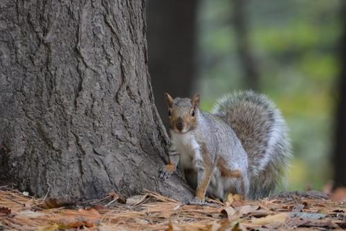 écureuil Chutes de la Chaudiére