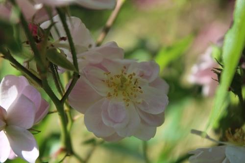 Dernière vague de roses