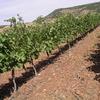 Les vignes vers Octon